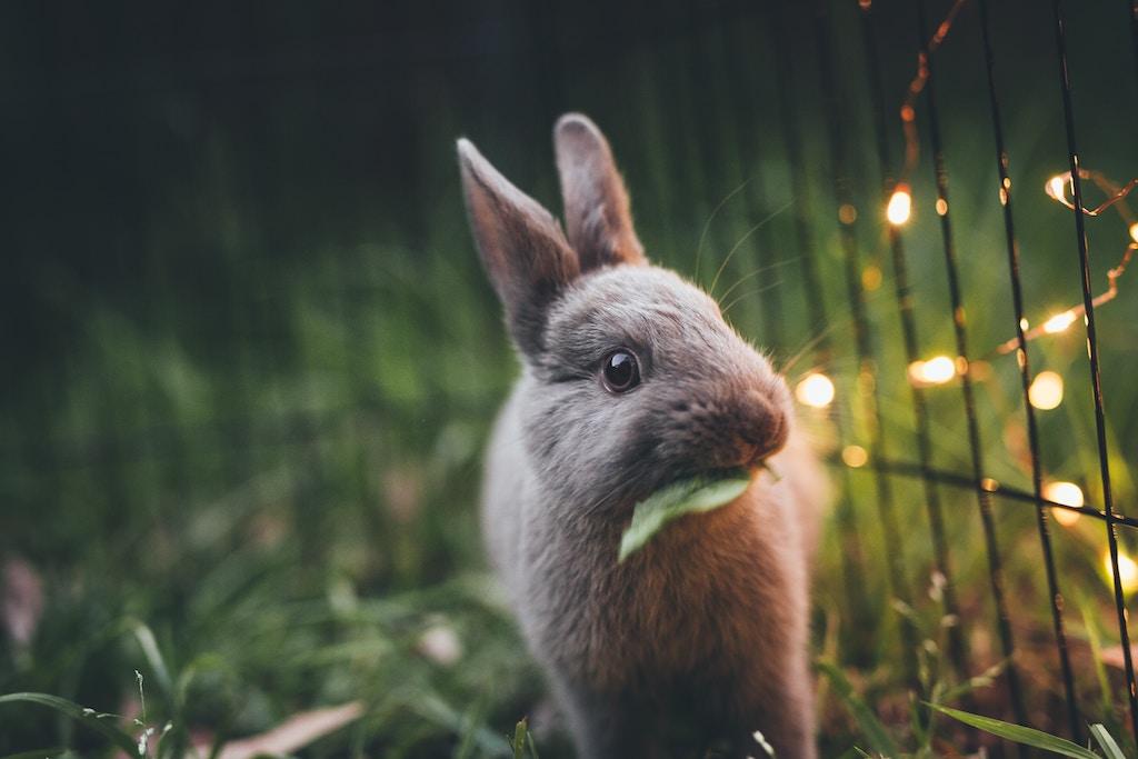 RHD2 enting blijft verplicht voor konijnen op KLN-tentoonstellingen