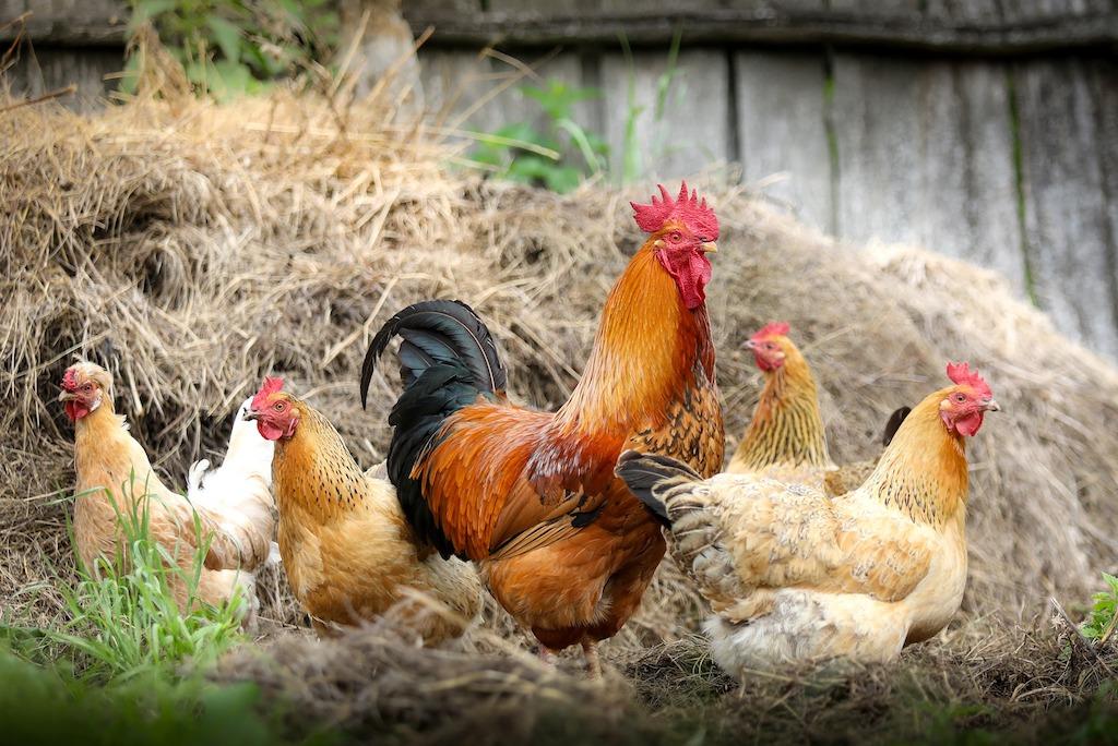Nederland is officieel vogelgriepvrij
