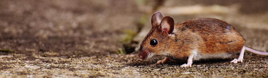 Muizen, wat kunnen we er tegen doen?