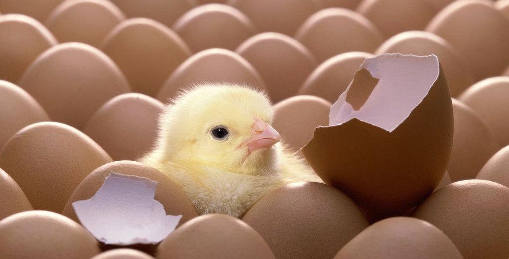 Mogen eieren straks nog uitgebroed worden met een broedmachine?