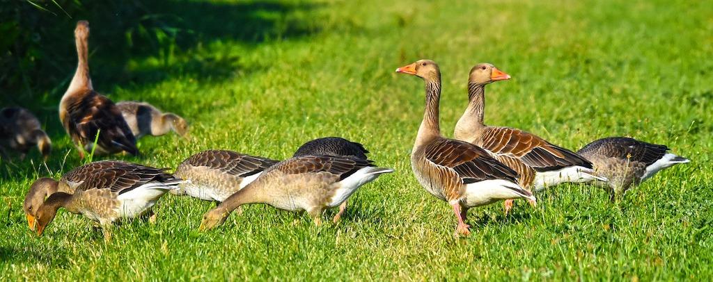 Helaas weer vogelgriep geconstateerd