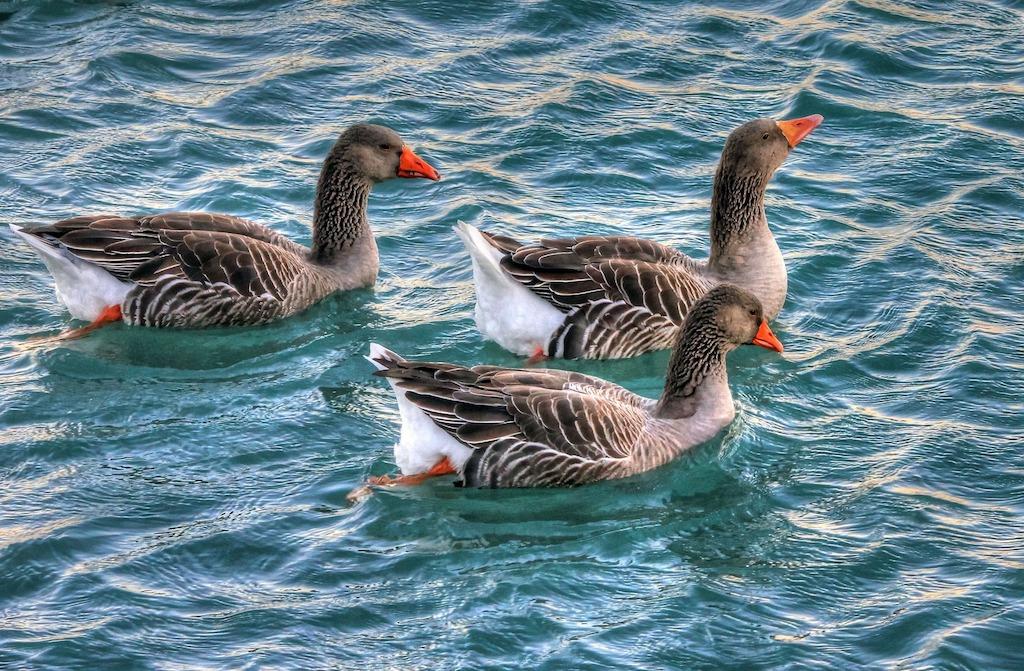 Groepje zwemmende ganzen