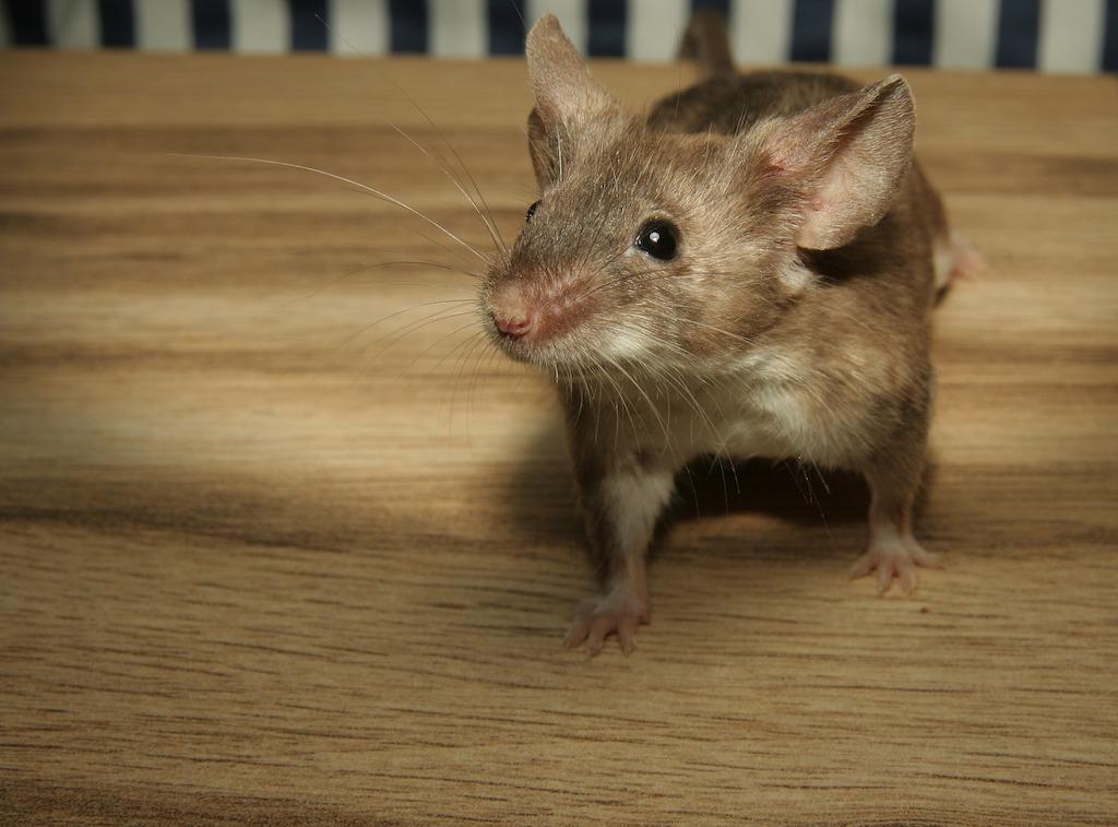 Onderzoek naar muizen in huis