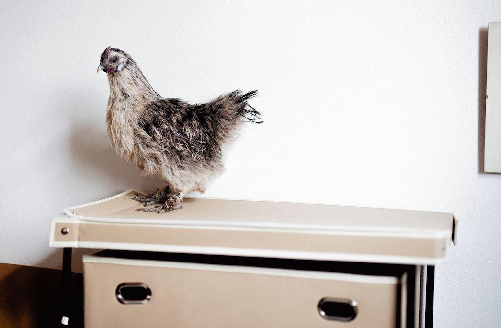 Kippen zijn geen domme wezens, maar hele lieve huisdieren