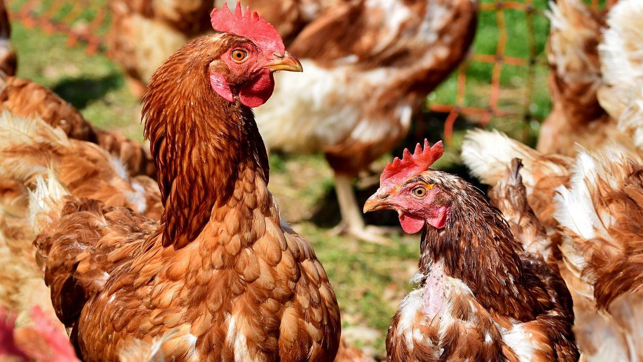 Vergoedingsregeling H3 vogelgriep verwacht