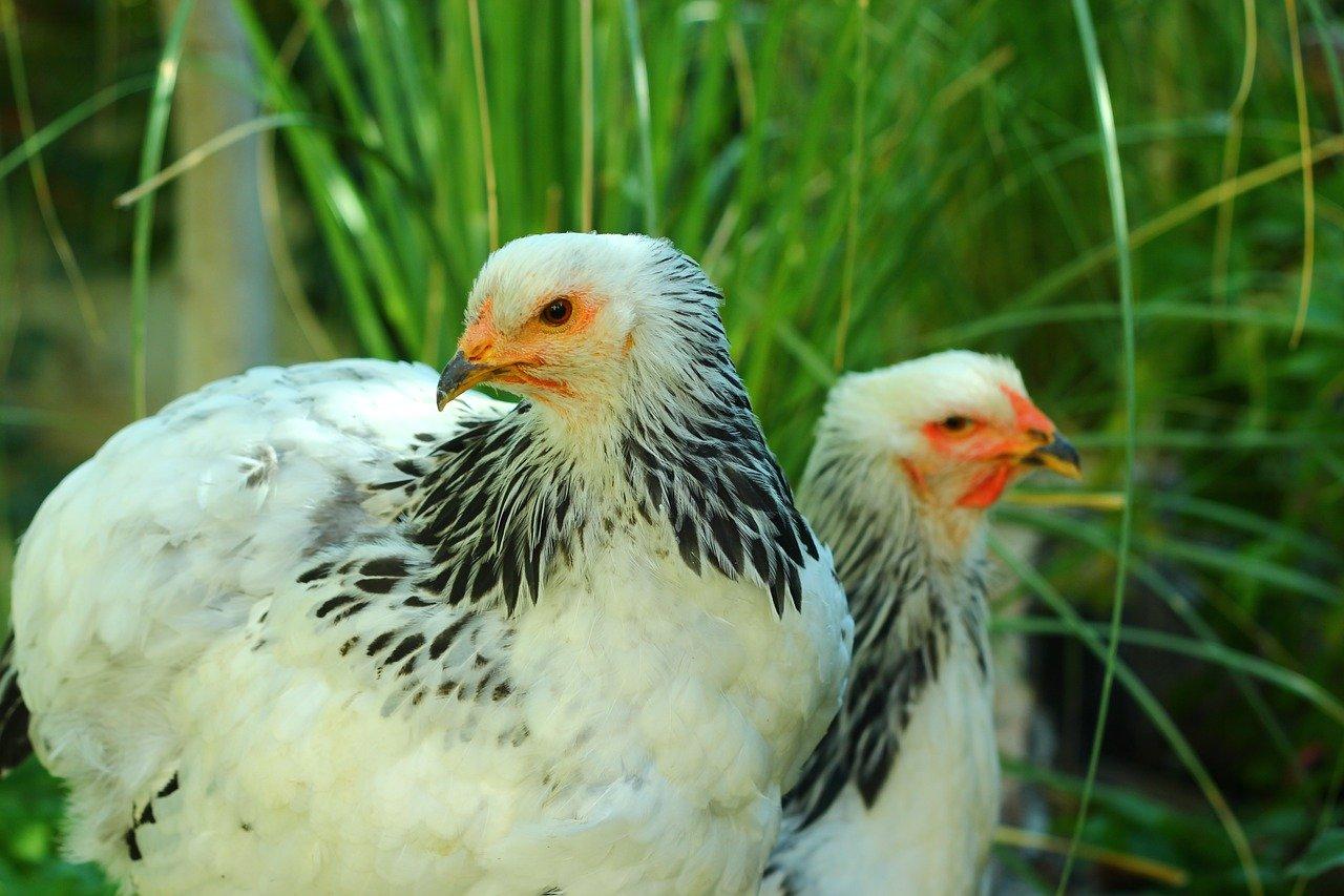 Laagpathogene vogelgriep in 6 Nederlandse provincies